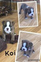 Olde English Bulldogge Puppies for sale in Carrollton, VA 23314, USA. price: NA