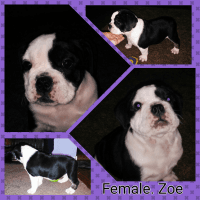 Olde English Bulldogge Puppies for sale in Florence, AZ 85132, USA. price: NA