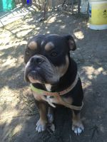 Olde English Bulldogge Puppies for sale in Antioch, CA 94531, USA. price: NA