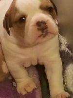 Olde English Bulldogge Puppies for sale in Boston, MA, USA. price: NA