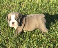 Olde English Bulldogge Puppies for sale in Merrill, WI 54452, USA. price: NA