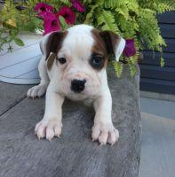Olde English Bulldogge Puppies for sale in Nashville, TN 37246, USA. price: NA