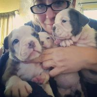 Olde English Bulldogge Puppies for sale in Houston, TX 77012, USA. price: NA