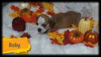 Olde English Bulldogge Puppies for sale in Butler, PA, USA. price: NA