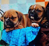 Olde English Bulldogge Puppies for sale in Dadeville, AL, USA. price: NA