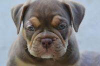 Olde English Bulldogge Puppies for sale in Santa Fe, TX, USA. price: NA