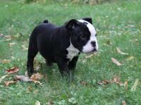 Olde English Bulldogge Puppies for sale in Minneapolis, MN, USA. price: NA