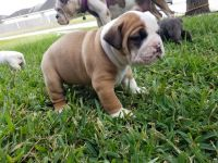 Olde English Bulldogge Puppies for sale in Texas City, TX, USA. price: NA