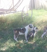 Olde English Bulldogge Puppies for sale in Litchfield Park, AZ 85340, USA. price: NA