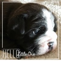 Olde English Bulldogge Puppies for sale in Fredericktown, OH 43019, USA. price: NA