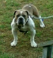 Olde English Bulldogge Puppies for sale in Booneville, MS 38829, USA. price: NA