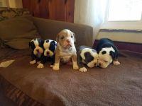 Olde English Bulldogge Puppies for sale in Collinwood, TN 38450, USA. price: NA