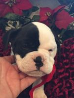 Olde English Bulldogge Puppies for sale in Cookeville, TN, USA. price: NA