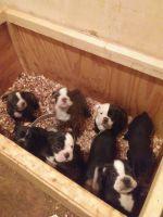 Olde English Bulldogge Puppies for sale in Culpeper, VA 22701, USA. price: NA