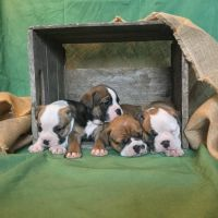 Olde English Bulldogge Puppies for sale in Mansfield, OH, USA. price: NA