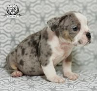 Olde English Bulldogge Puppies for sale in Gurnee, IL 60031, USA. price: NA