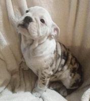 Olde English Bulldogge Puppies for sale in San Jose, CA, USA. price: NA