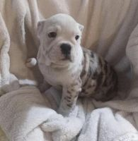 Olde English Bulldogge Puppies for sale in Philadelphia, PA, USA. price: NA