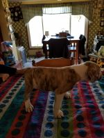 Olde English Bulldogge Puppies for sale in Red Lion, PA, USA. price: NA