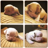 Olde English Bulldogge Puppies for sale in Aurora, CO, USA. price: NA