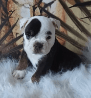 Olde English Bulldogge Puppies for sale in Canton, OH 44706, USA. price: NA