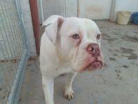 Olde English Bulldogge Puppies for sale in Coolidge, AZ 85128, USA. price: NA