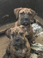 Olde English Bulldogge Puppies for sale in Zimmerman, MN 55398, USA. price: NA