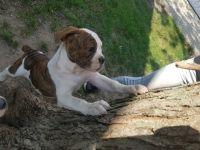 Olde English Bulldogge Puppies for sale in 31665 Sweetbriar Dr, Rockwood, MI 48173, USA. price: NA