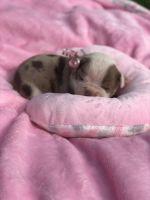 Olde English Bulldogge Puppies for sale in Saginaw, MI, USA. price: NA