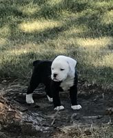 Olde English Bulldogge Puppies for sale in Belle Plaine, MN, USA. price: NA