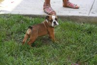 Olde English Bulldogge Puppies for sale in Southern Maryland, MD, USA. price: NA