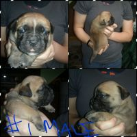 Olde English Bulldogge Puppies for sale in Confluence, PA 15424, USA. price: NA