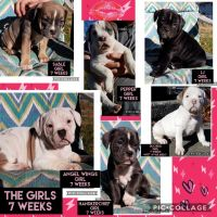 Olde English Bulldogge Puppies for sale in 1990 Hwy 20, Fremont, OH 43420, USA. price: NA