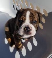 Olde English Bulldogge Puppies for sale in Peoria, AZ 85345, USA. price: NA