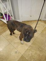 Olde English Bulldogge Puppies for sale in McDonough, GA, USA. price: NA