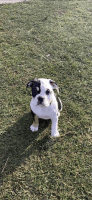 Olde English Bulldogge Puppies for sale in New Middletown, OH 44442, USA. price: NA