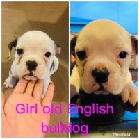 Olde English Bulldogge Puppies for sale in Baytown, TX, USA. price: NA
