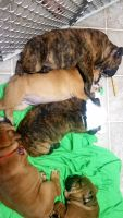 Olde English Bulldogge Puppies for sale in Pittsboro, NC 27312, USA. price: NA