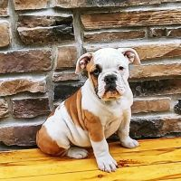 Olde English Bulldogge Puppies for sale in Fort Wayne, IN, USA. price: NA