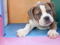 Olde English Bulldogge Puppies for sale in Ewing Township, NJ, USA. price: NA