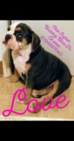 Olde English Bulldogge Puppies for sale in Ceres, CA, USA. price: NA