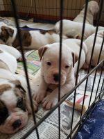 Olde English Bulldogge Puppies for sale in Rochelle, IL 61068, USA. price: NA