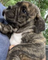 Olde English Bulldogge Puppies for sale in Bowman Hwy, Bowman, GA, USA. price: NA