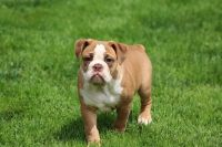 Olde English Bulldogge Puppies for sale in Blythewood, SC, USA. price: NA