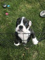 Olde English Bulldogge Puppies for sale in Sears, MI 49679, USA. price: NA