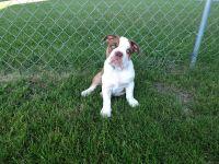 Olde English Bulldogge Puppies for sale in Willmar, MN 56201, USA. price: NA