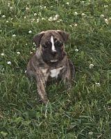 Olde English Bulldogge Puppies for sale in Waukesha, WI, USA. price: NA
