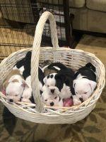 Olde English Bulldogge Puppies for sale in Hamilton, MT 59840, USA. price: NA