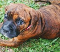 Olde English Bulldogge Puppies for sale in Virginia Beach, VA, USA. price: NA