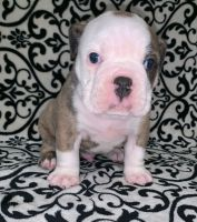 Olde English Bulldogge Puppies for sale in Bay City, TX 77414, USA. price: NA